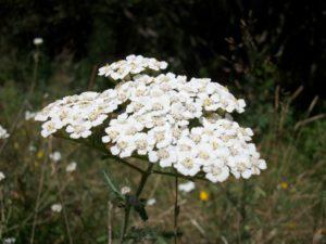 achillee millefeuille plante detox