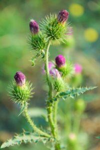 chardon marie plante detox